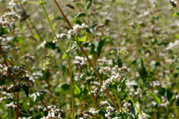 buckwheat_plant_growing