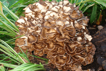 maitake_mushrooms_growing_in_grass