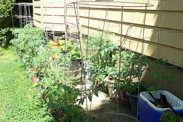 tomatoes_growing_in_the_garden