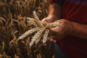 wheat_in_hands