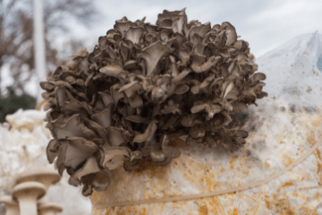 maitake_mushrooms_growing_in_a_bag