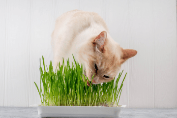 cat_eating_wheatgrass
