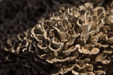 maitake_mushrooms