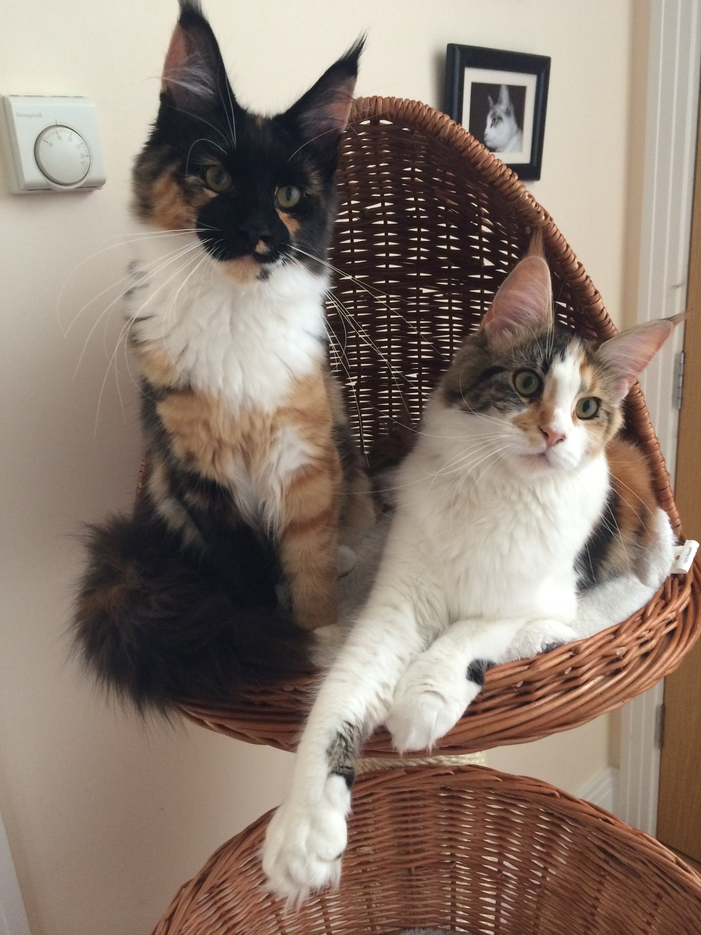 Maine Coon Cats sharing a cat scratching tower