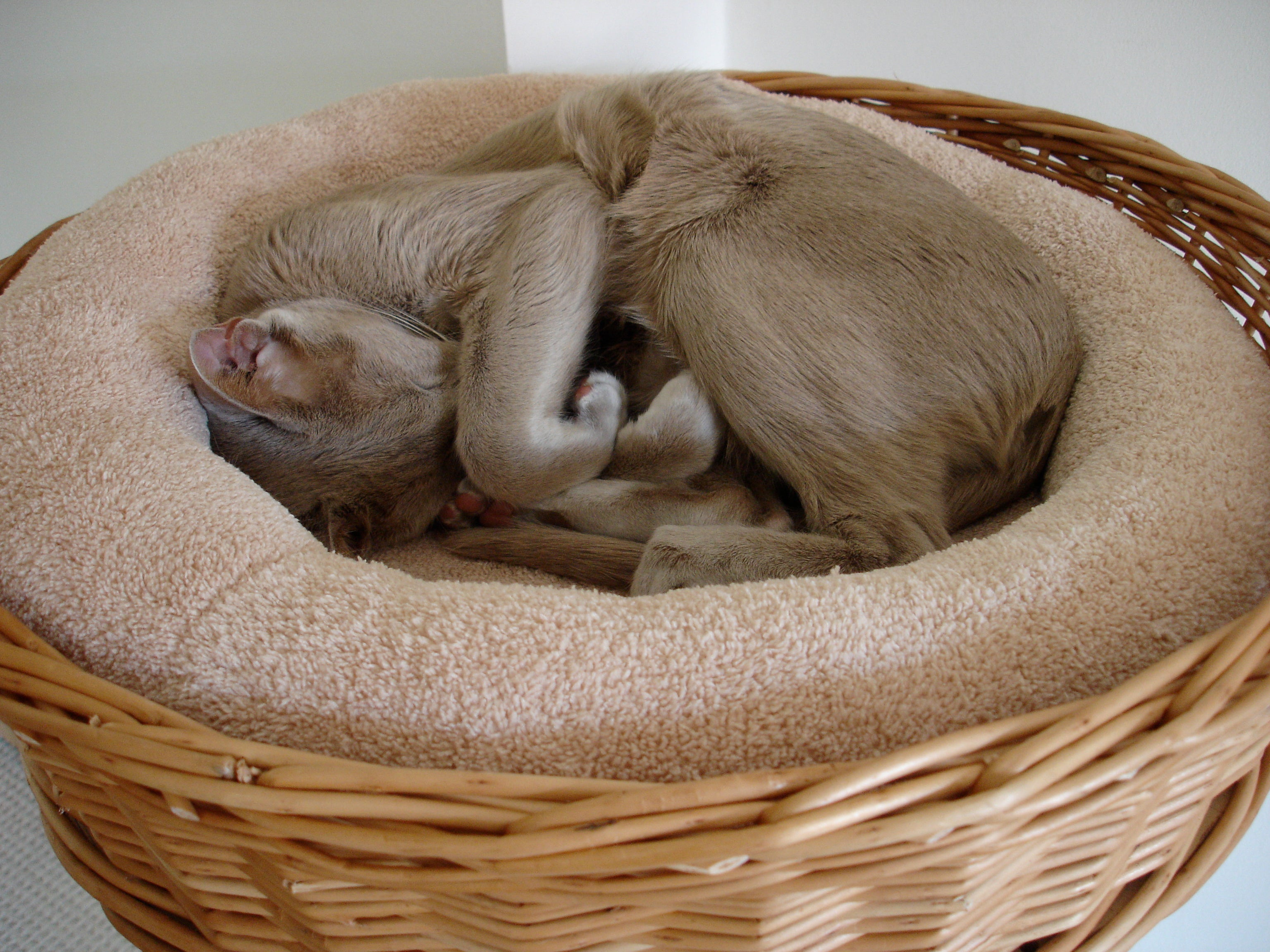 Cat curled up in round wicker basket