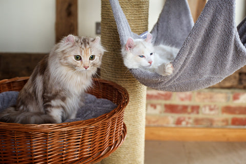 American Curl Temperament and Behaviour