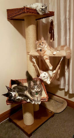 Maine Coon cat tower - Tigga Towers