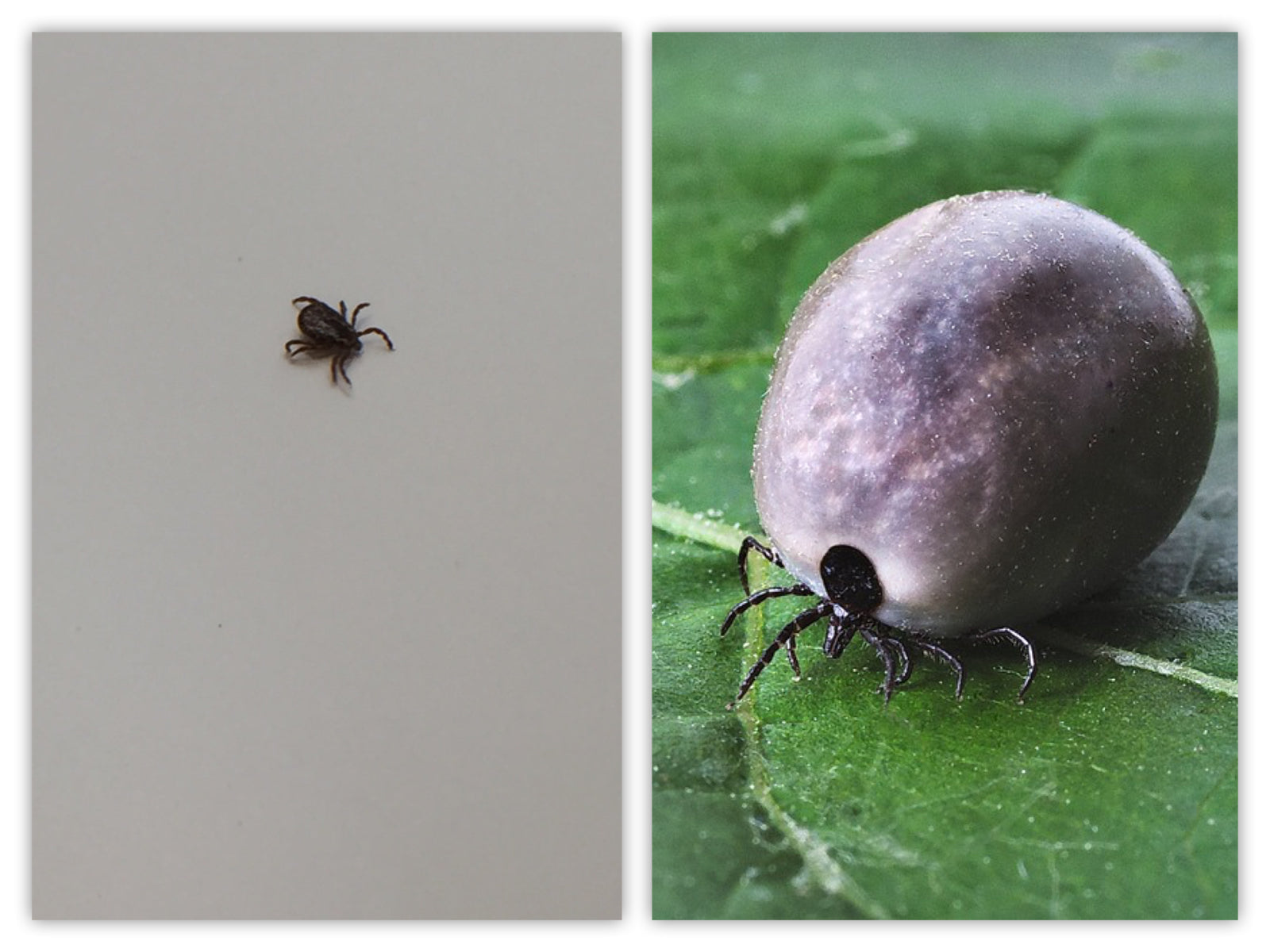Small and Large Tick
