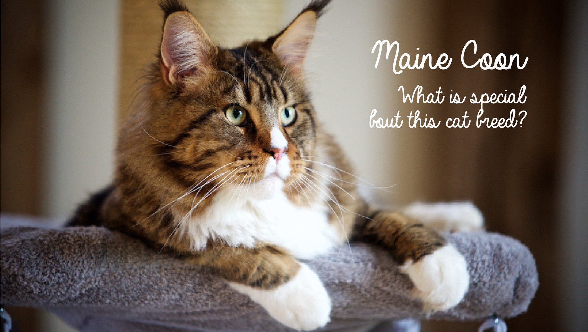 Maine Coon kittens and live with the giant cat breed UK Tigga
