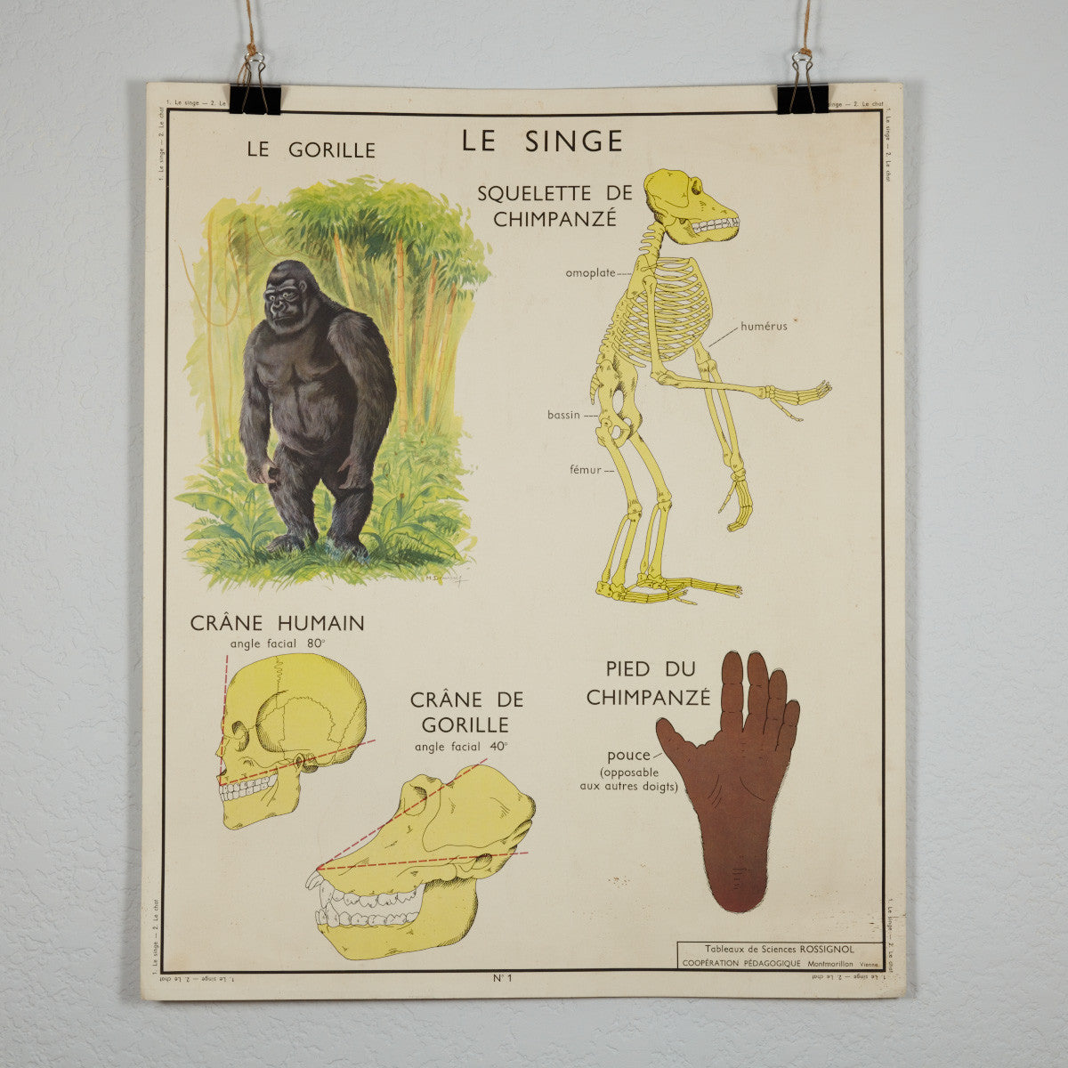 Vintage French School Science Poster- Cat/ Gorilla