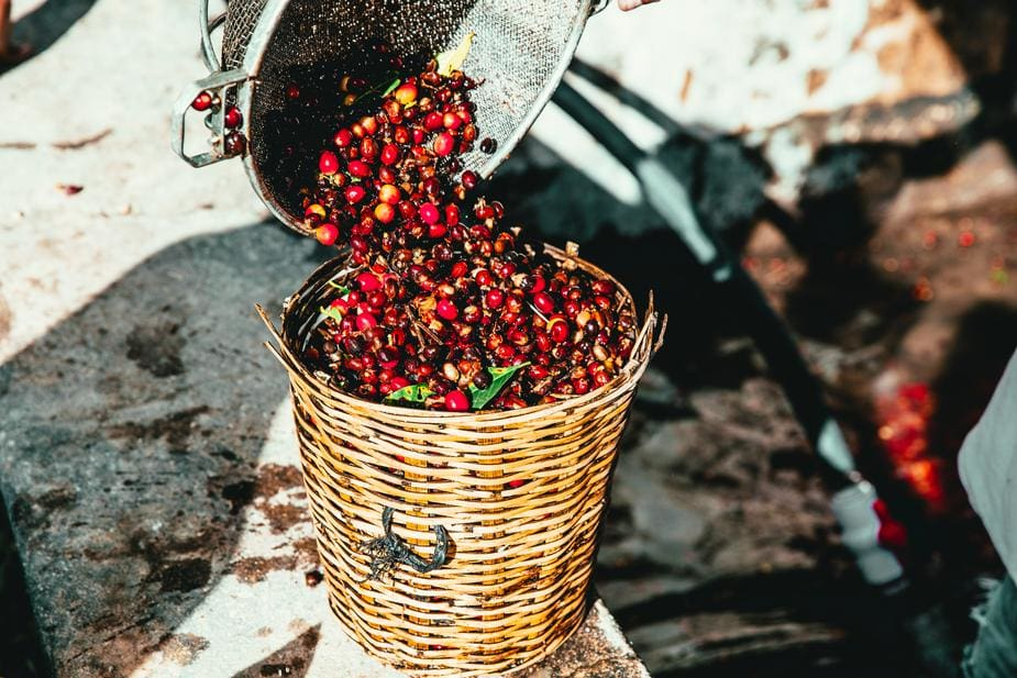 Coffee Cherry Harvest