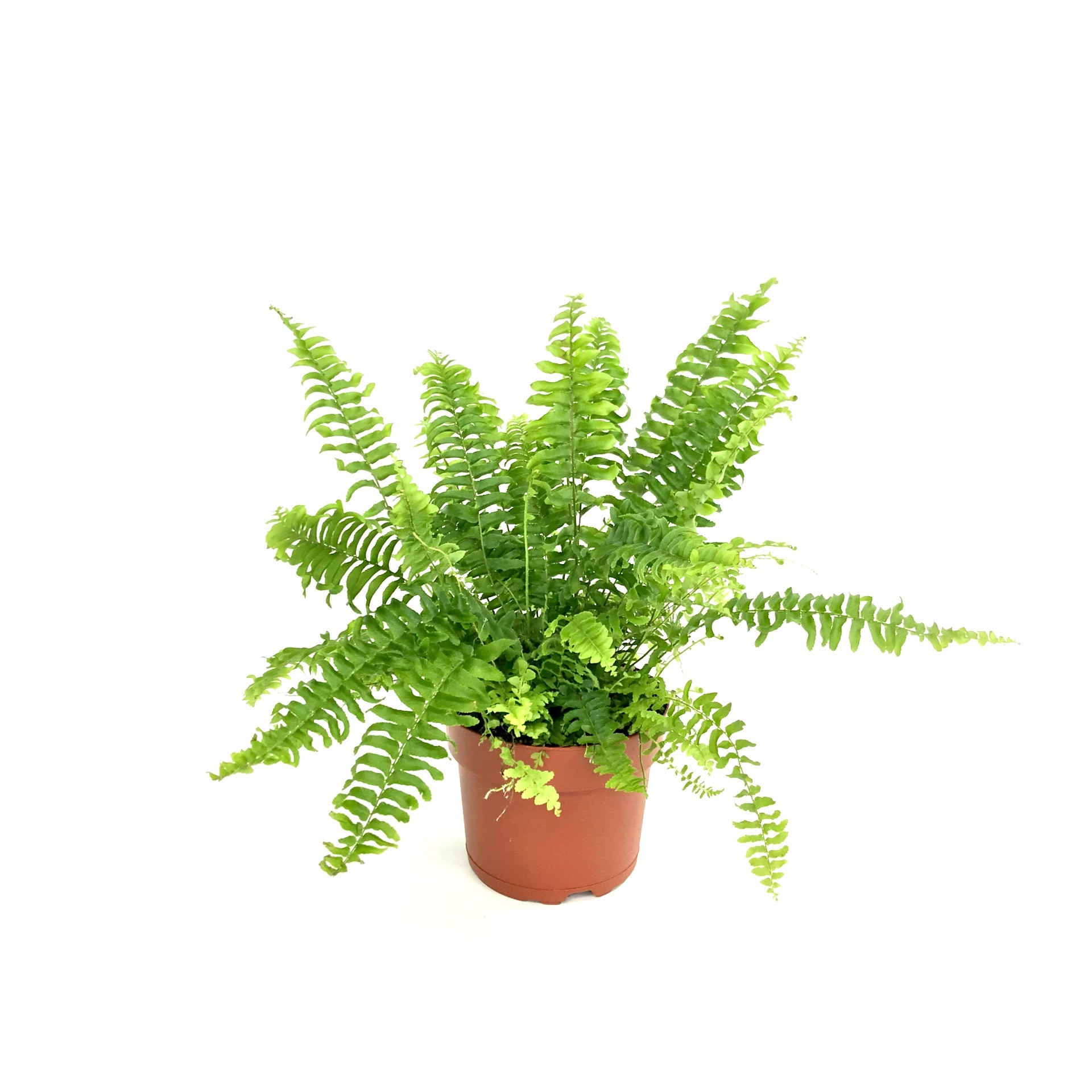 "5"" Boston Fern"