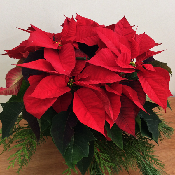 Poinsettias (with Holiday Styling)