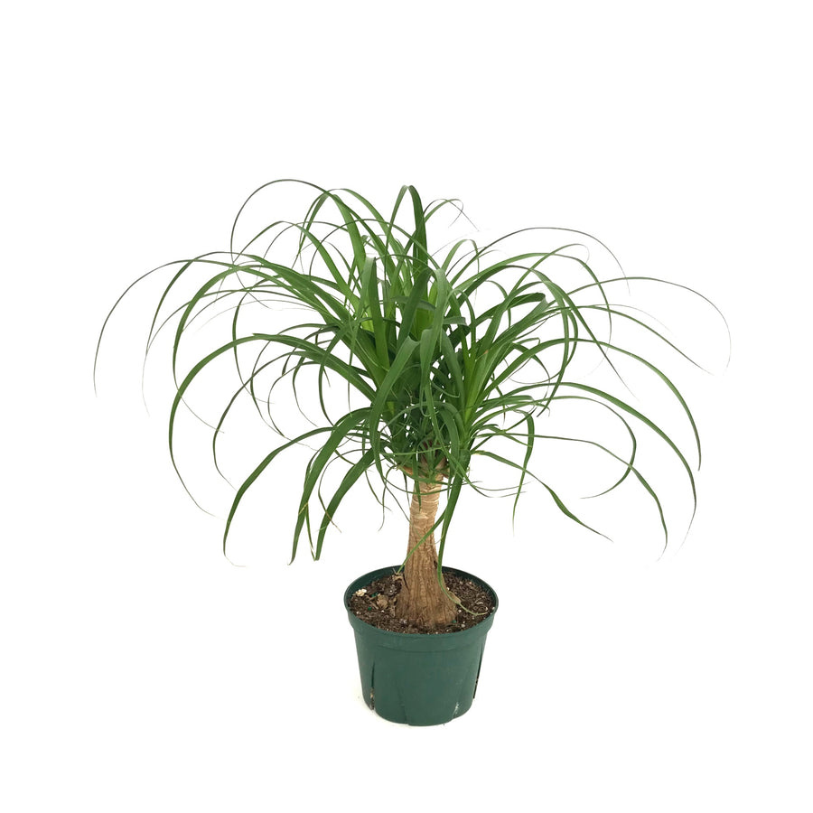 Beaucarnea Recurvata 'Ponytail Palm'