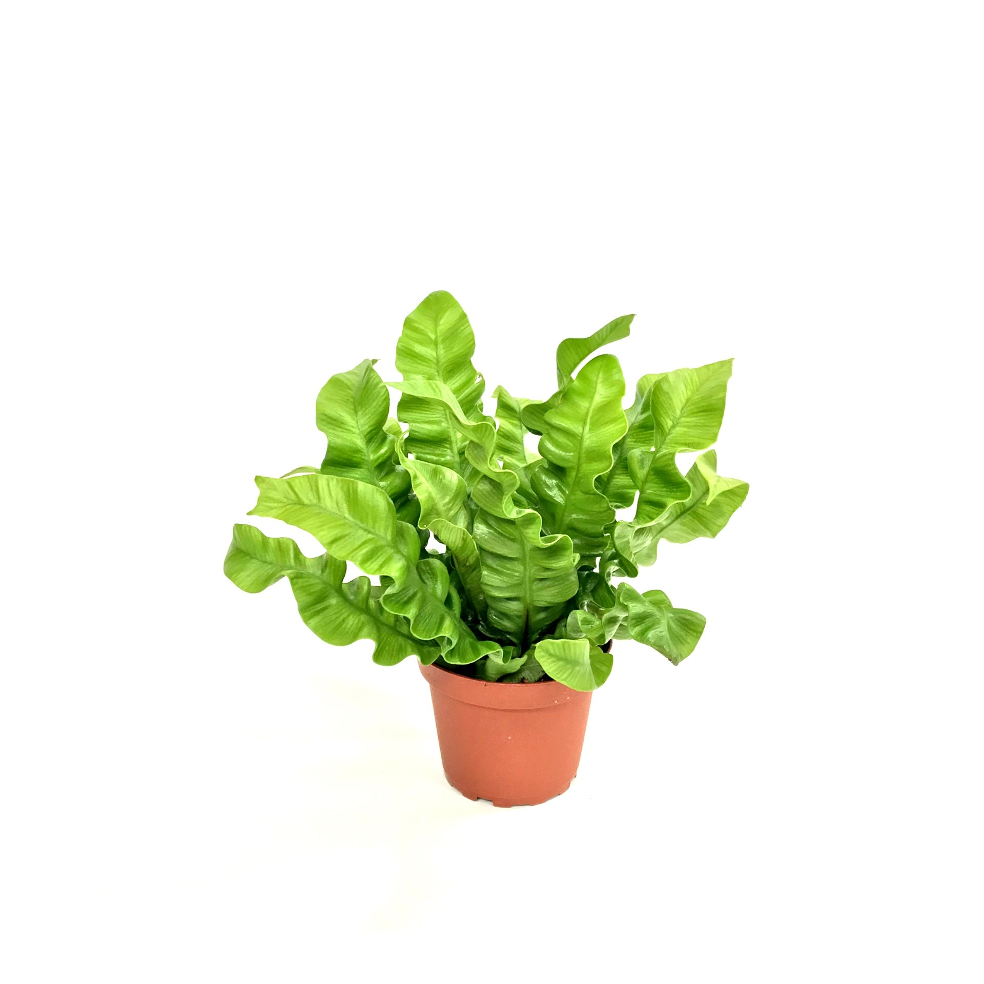 "4"" Crispy Wave Fern"
