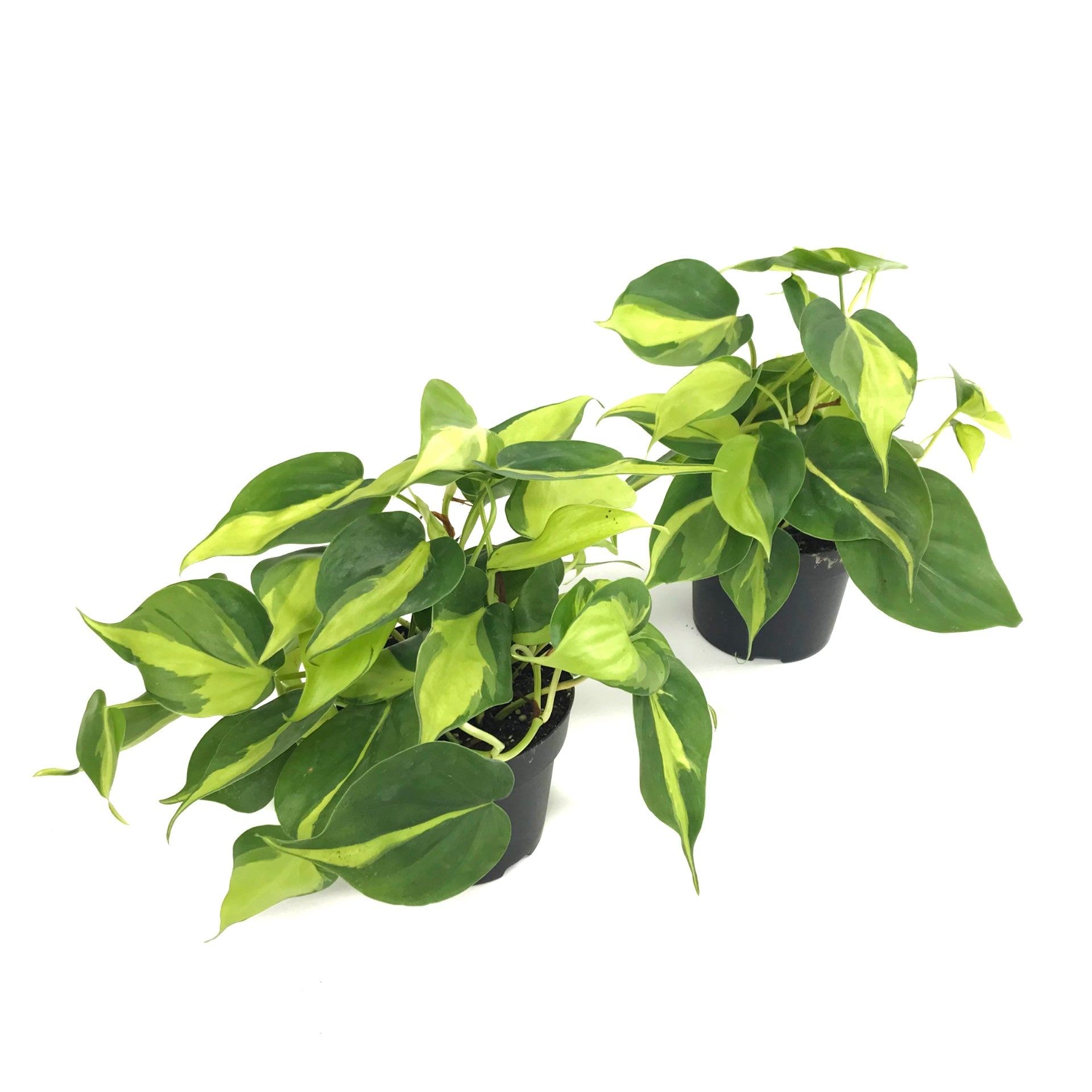 "4"" Philodendron Hederaceum 'Brasil'"