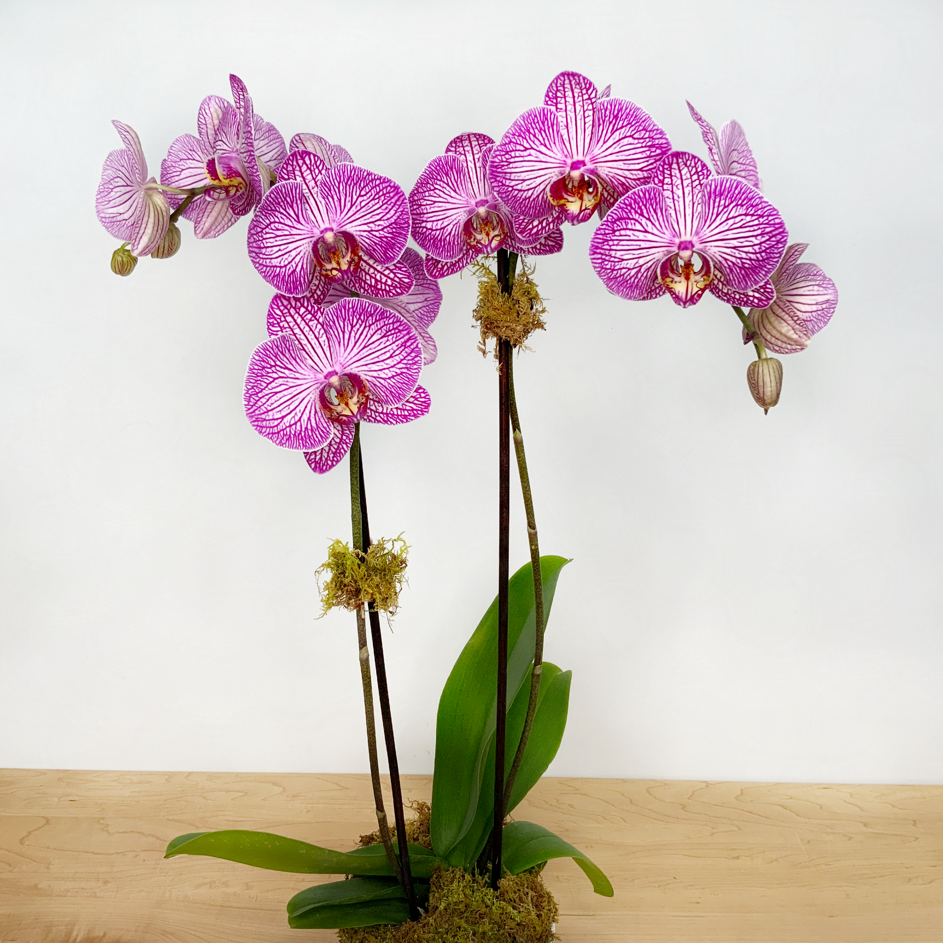 Phalaenopsis Orchid - Double Stem