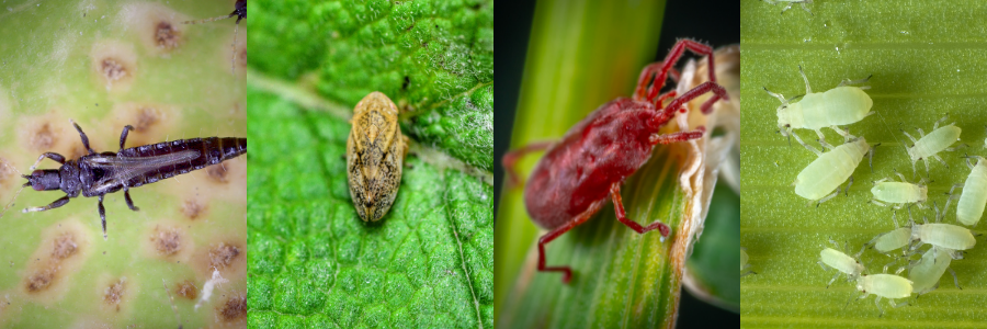 Insects you don't want on your indoor grow