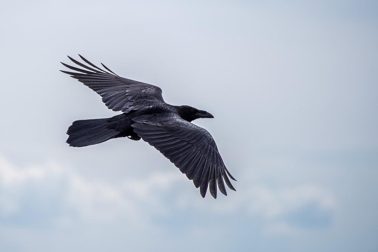 """Nevermore,"" Says the Raven"
