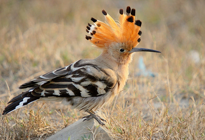The Hoopoe, Float Like a Feather and Sting Like a Bee!
