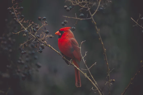 Red Cardinal, Bird, Bird Lover