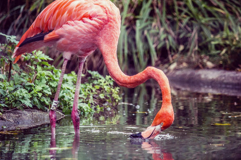 Flamingo, Bird, Bird Lover