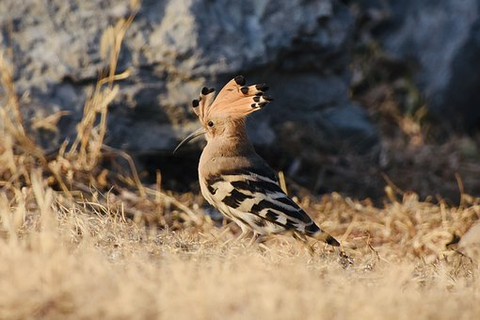 Hoopoe, Bird, Bird Lover