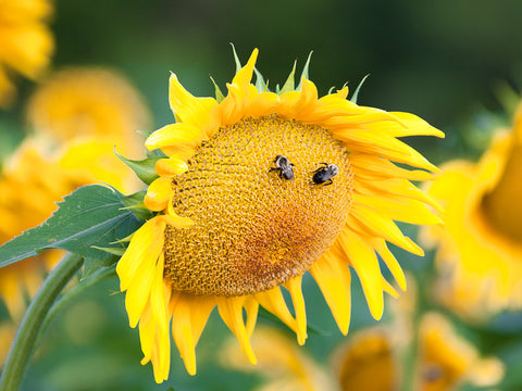 Smiley Face Sunflower
