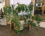 "9251 H - Potted Umbrella or Schefflera Plant - 3 1/2' Tall - Tan Pot - 16"" radius and 15"" tall - Has a roller Base for Easy Moving - Very Healthy"