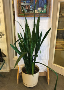 "9255 - H - Overgrown Snake Plant - 70"" tall - Beige/Tan Vase with Drainage - 17""r, 14""t -  On Rollers - Transplant to Make Additional Plants"