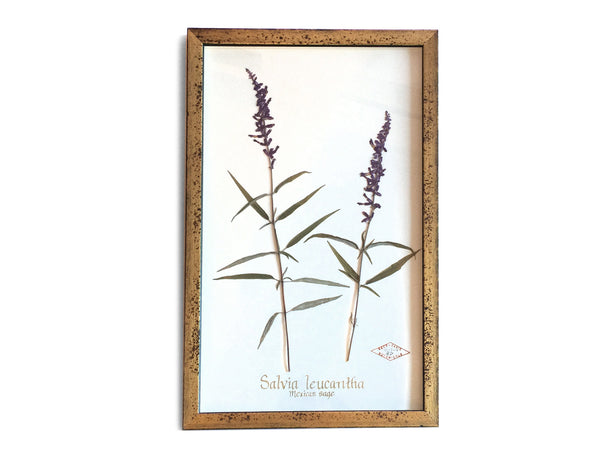 Mexican Sage in Gold Gilt Frame