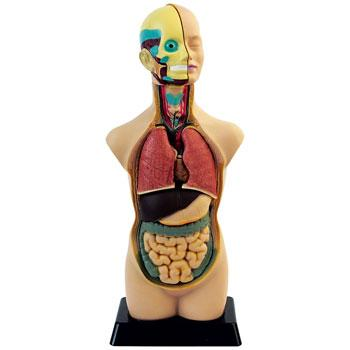 Anatomical Models, Human Torso, Each