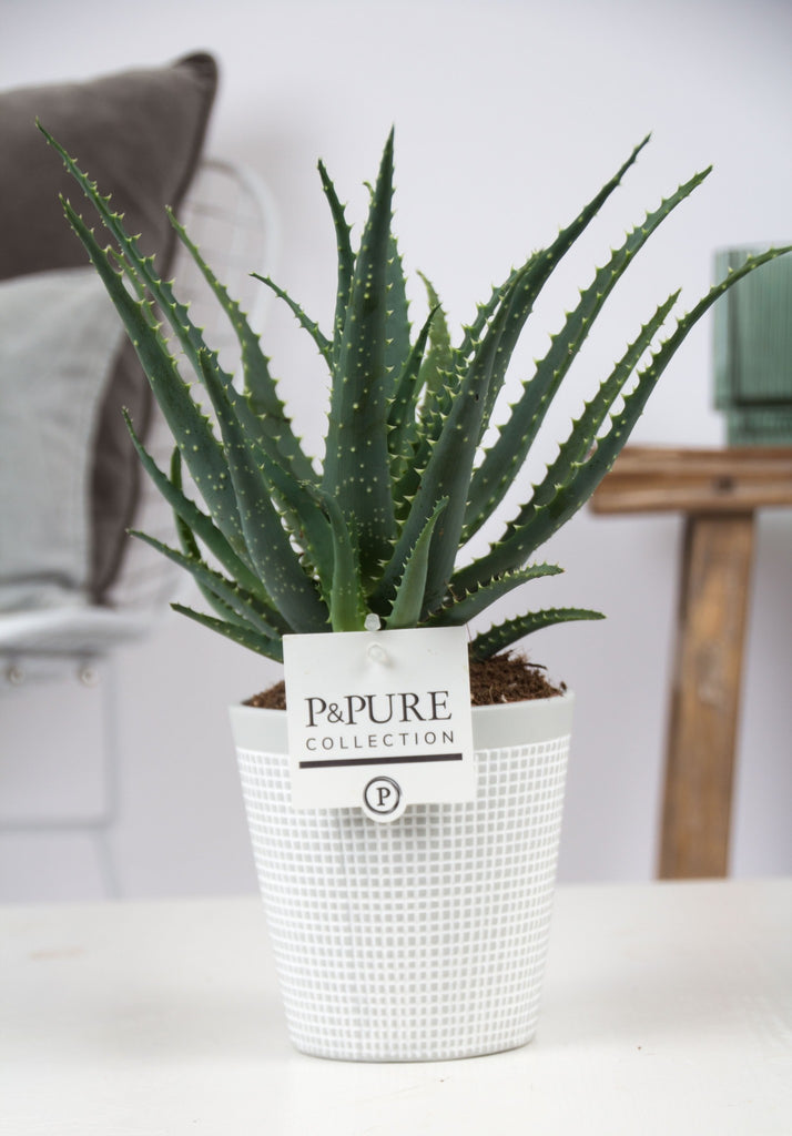 Aloe arborescens white pot