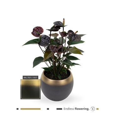 Anthurium black love