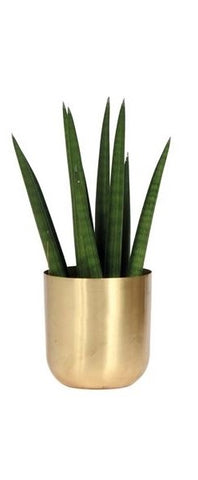 Sansevieria cylindrica golden pot