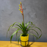 Bromelia Red Green 10cm