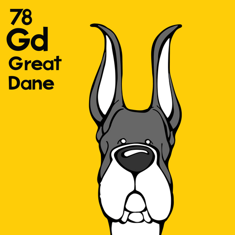 Great Dane (Mantle, Cropped Ears) - Unframed 12x12 Print