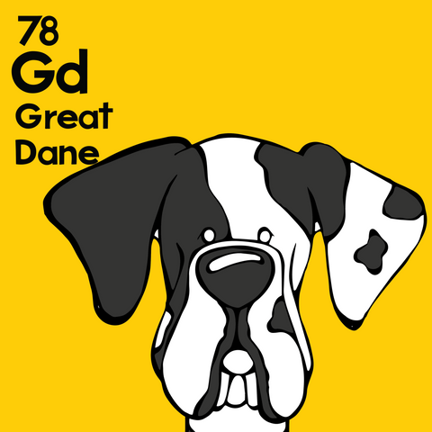 Great Dane (Harlequin, Natural Ears) - Unframed 12x12 Print