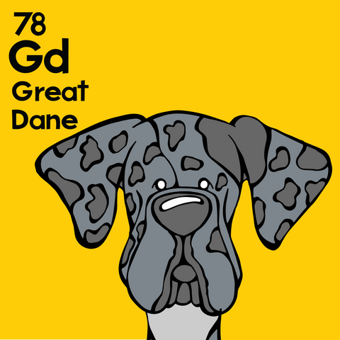 Great Dane (Merle, Natural Ears) - Unframed 12x12 Print
