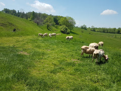The milkies grazing behind the barn.