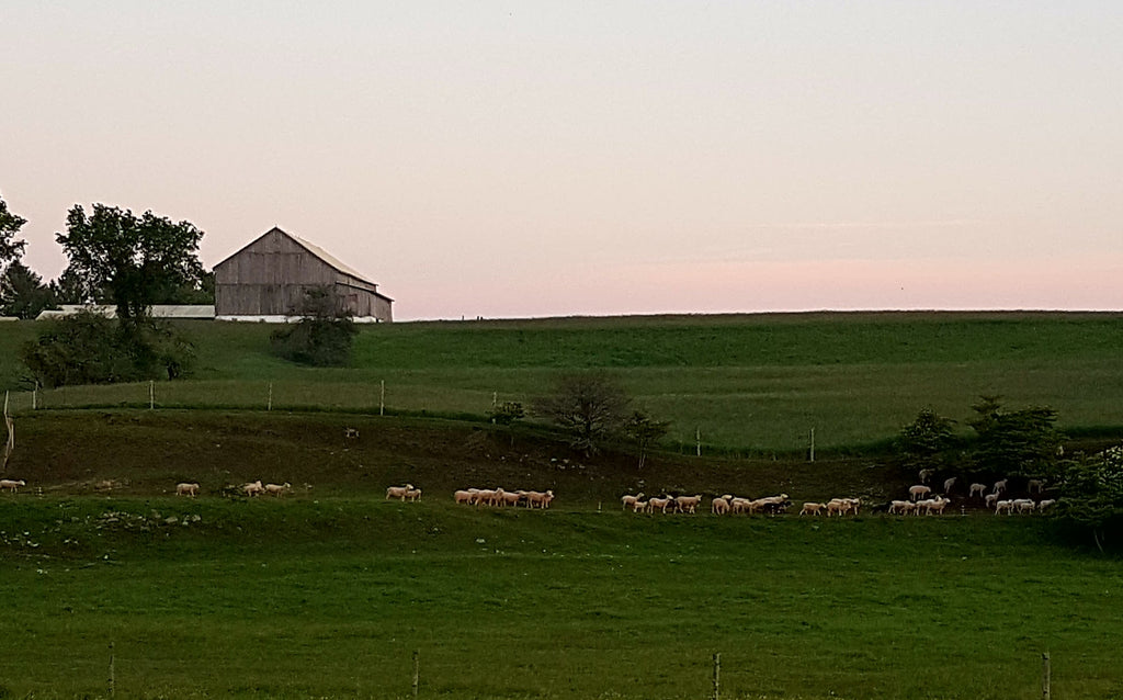 sheep walking single file out to grazing pastures with barn in background at sunset.
