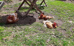 Laying hens having a dust bath in the front yard.