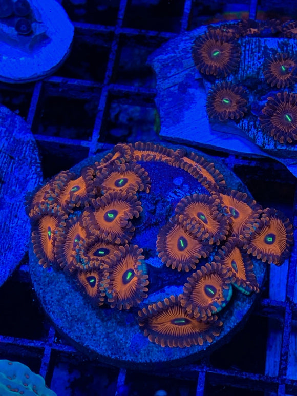 Zoanthids - How Your Saltwater Aquarium Could be Your Silent Killer