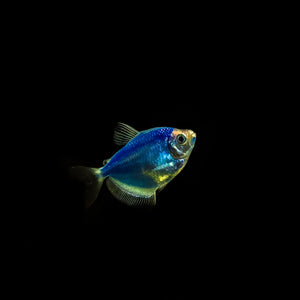 GloFish: A New Take on an Old Aquarium Favorite