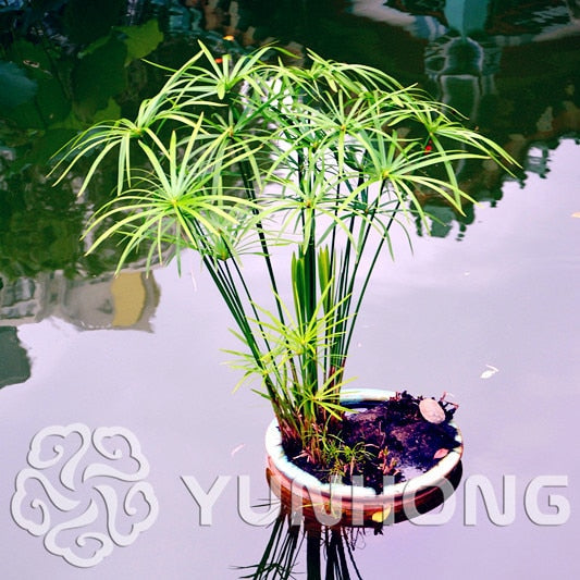 Umbrella Grass Plant Seeds for Indoor or Pond Water Gardens (50pcs)