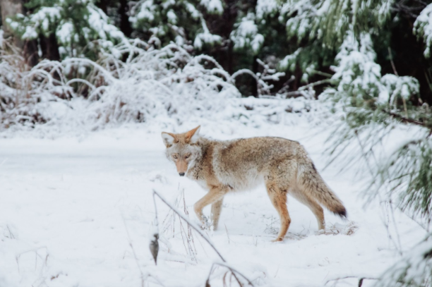 Coyote Hunting Gear and Essentials