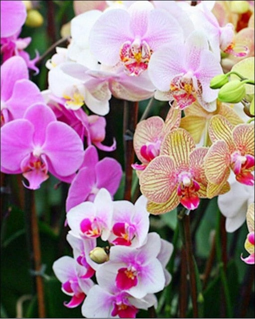 Orchidées - Broderie de Diamants