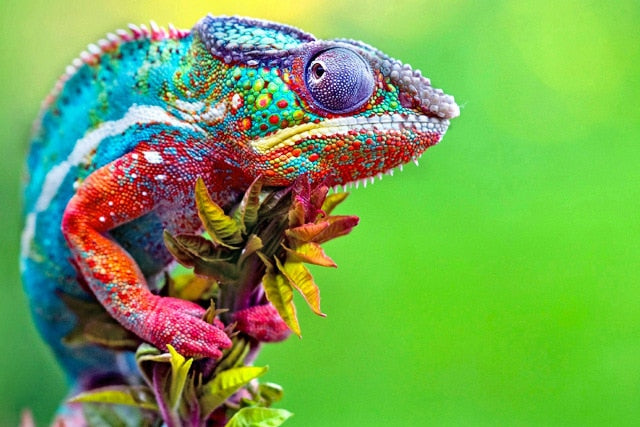 Caméléon multicolore - Broderie de Diamants