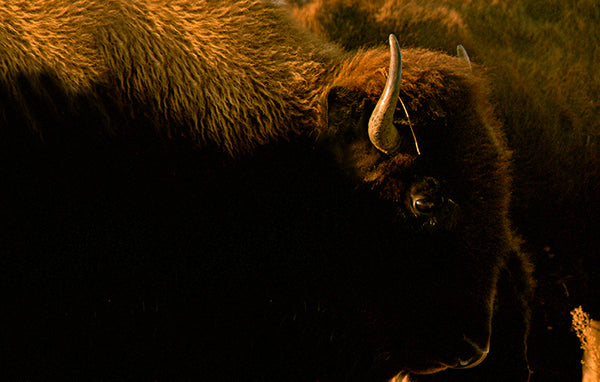 dark with highlights closeup photo of a bison