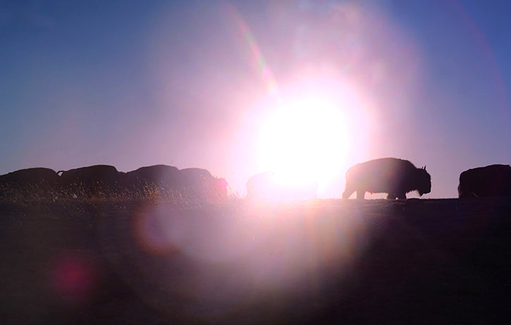 Bison in Sunset